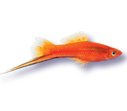 Marigold Swordtail One